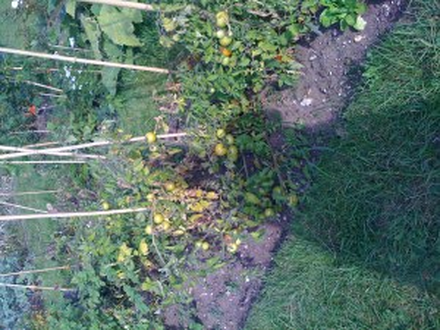 Lots of green tomato chutney in prospect