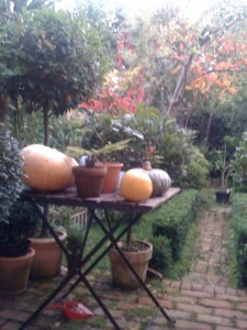 Pumpkins ripening on the patio