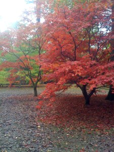 The maple avenue at Westonbirt