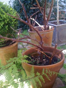 Grapevine cuttings