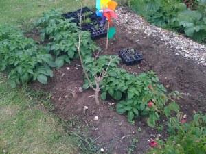 Potatoes growing well