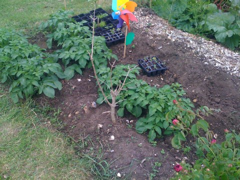 Potatoes growing well