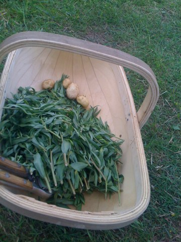 Tarragon destined for the freezer...