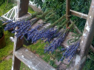 Lavender heads drying on the patio