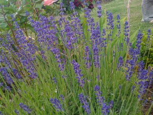 Lavender ready to pick