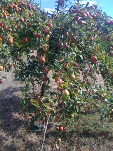 One of the apple trees in the orchard